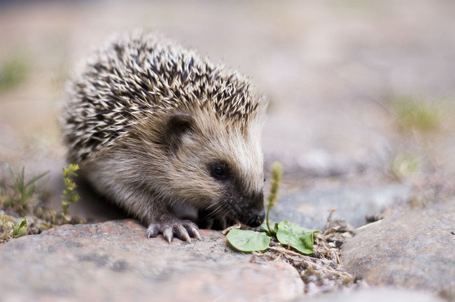 Hedgehogs have a strange survival technique that isn't supersonic speed. Instead, when hedgehog mothers feel threatened, they will bravely consume their young in order to spare them from getting eaten by predators.