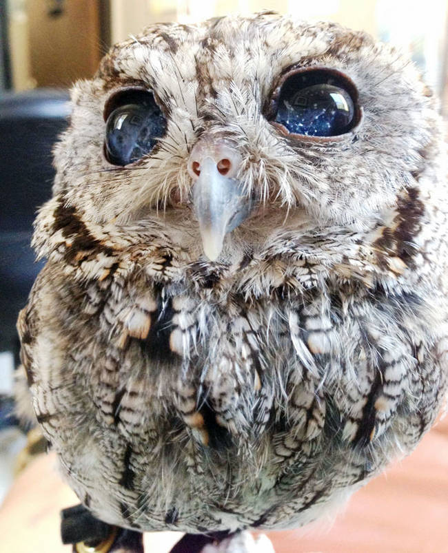 """This gorgeous blind owl appeared to have <a href=""""https://www.viralnova.com/starry-eyed-owl/"""" target=""""_blank"""">stars in his eyes</a> when we met him for the first time."""