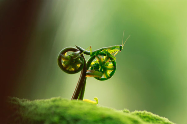 The cycling mantis, the lesser-known and less religious cousin of the praying mantis.